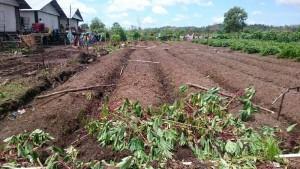 Lahan pertanian yang digarap eks warga Gafatar.(foto: andi)