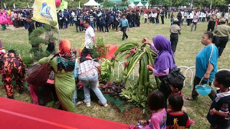 Tak sabar menanti acara selesai, masyarkat berebut pohon dan buah naga yang menjadi hiasan di tempat acara HUT Balikpapan 119. (foto: andi)